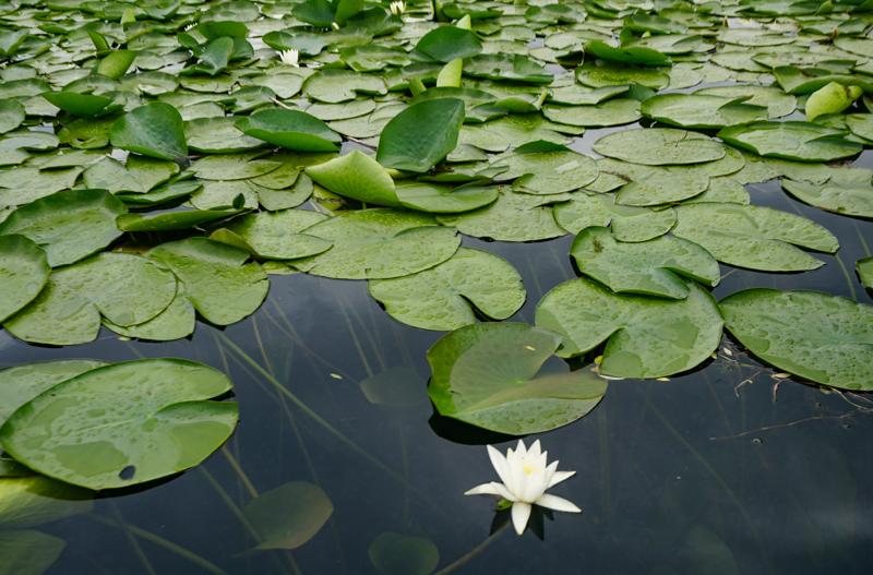 Lily pads Skadar Lake Montenegro