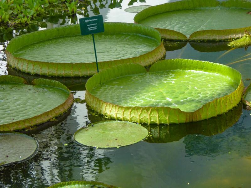 Lily pads Padua Botanical Garden Italy