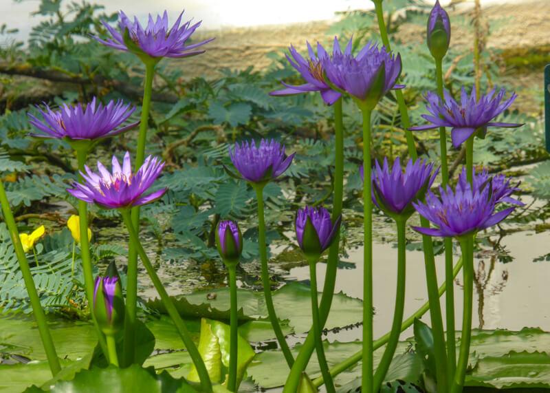 Water Lilies Padua Botanical Garden Italy