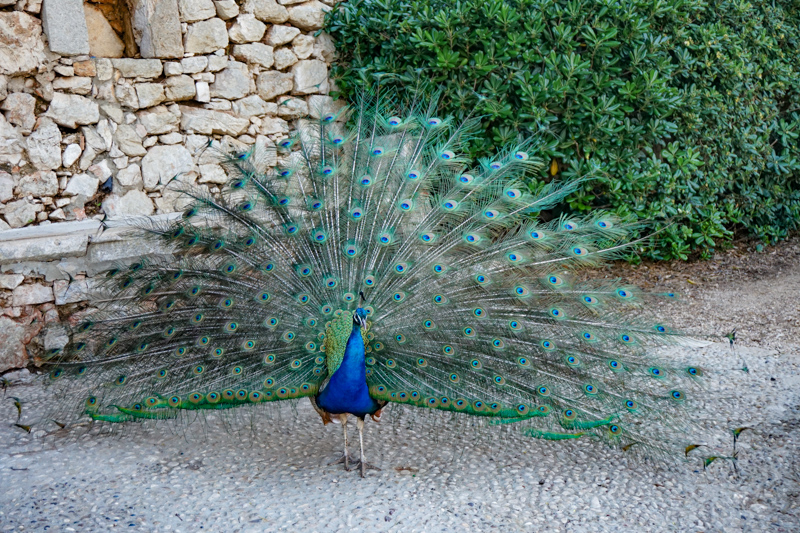 Peacock on Lokrum Island Croatia