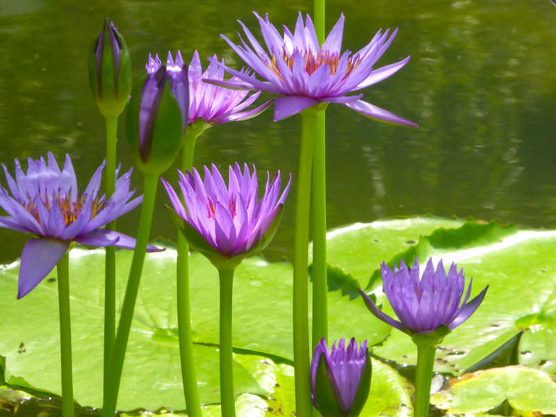Water Lilies in Bloom Orto Botanico Padua Italy