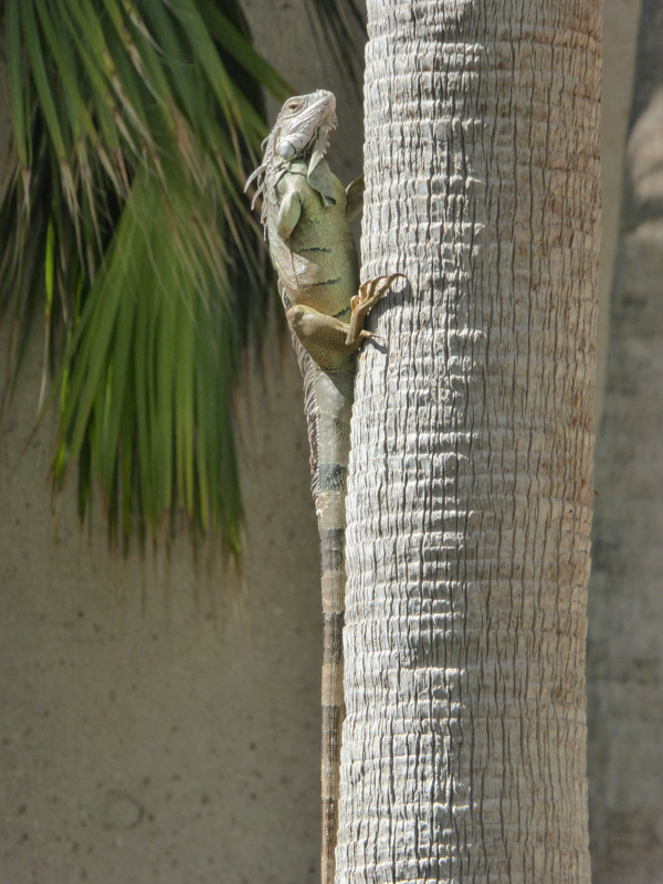 An iguana in Ponce Puerto Rico
