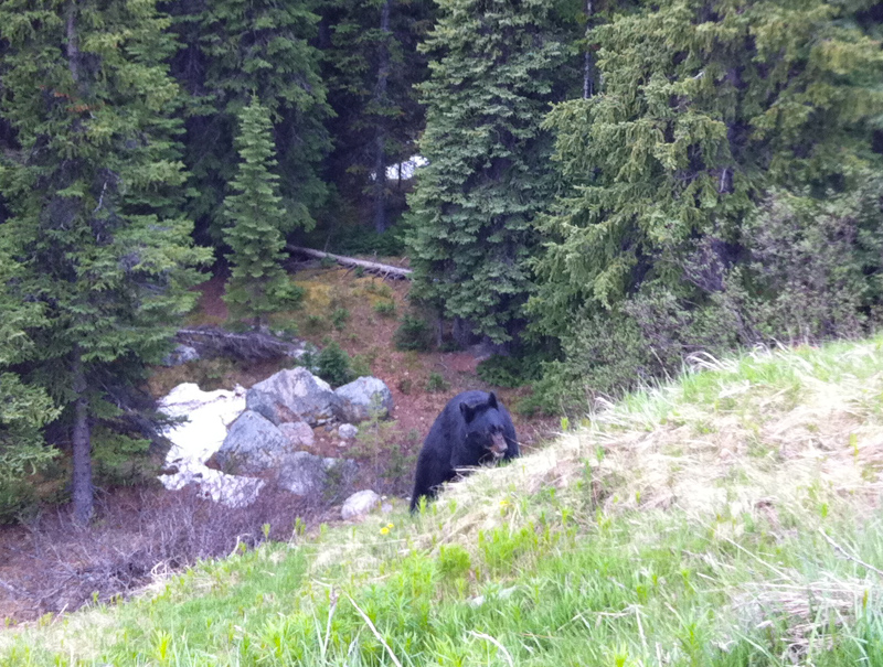 Black Bear Icefields Parkway Canada