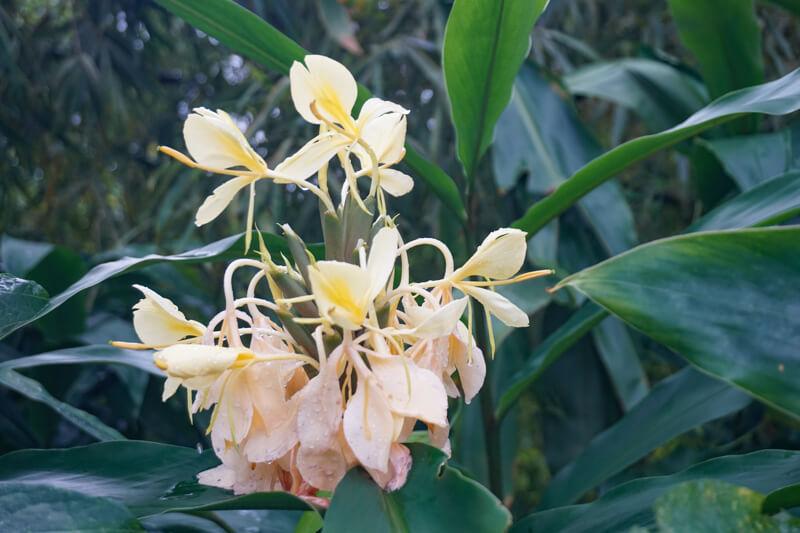 Ginger Plant El Yunque Puerto Rico
