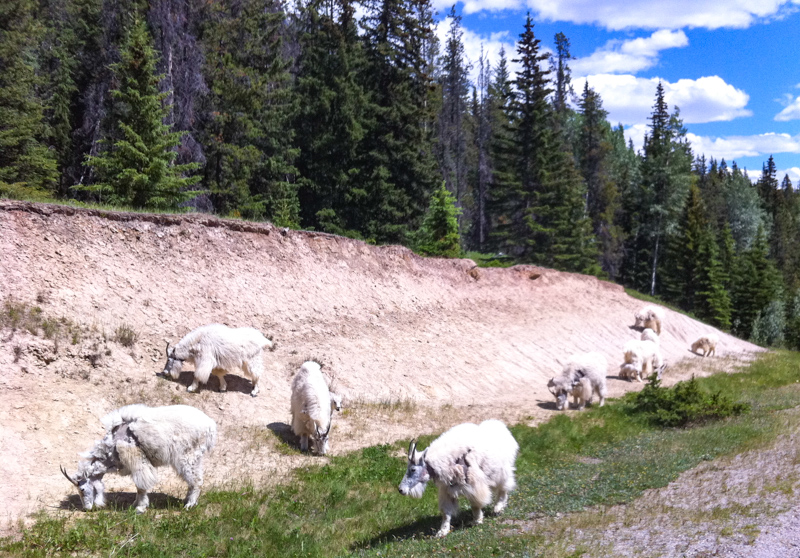 Goats at the salt lick along the Icefields Parkway, Canada