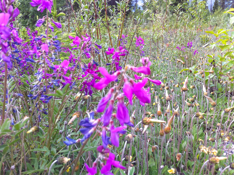 Wildflowers Icefields Parkway Canada