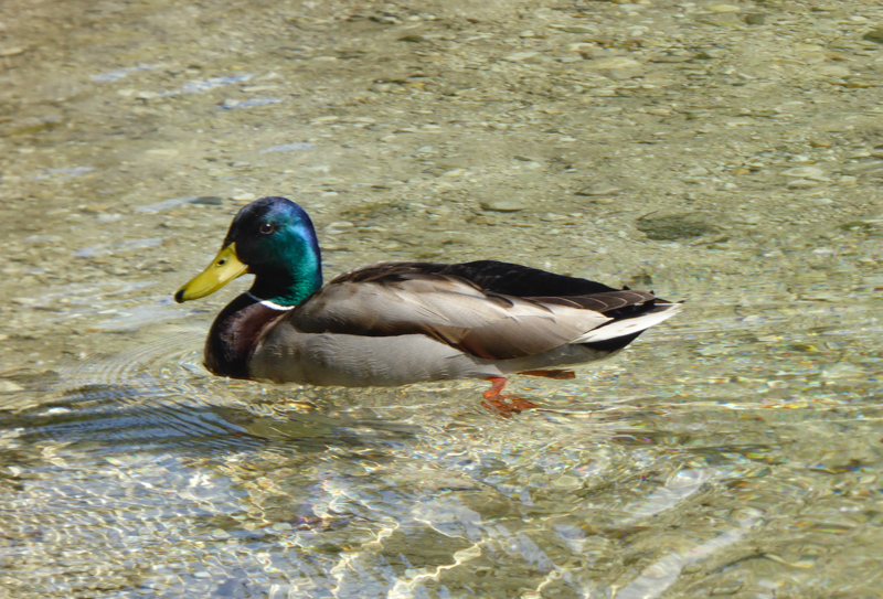 Duck at Jasna Lake Slovenia