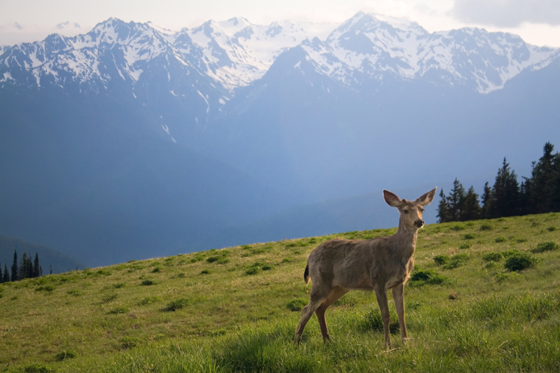 Hurricane Ridge Olympic National Park Washington USA