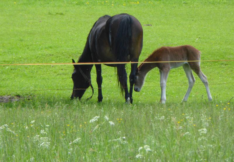 Mare and foal Kranjska Gora Slovenia