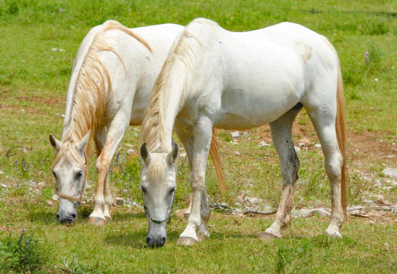 A pair of Lipizzan horses at Lipica Slovenia