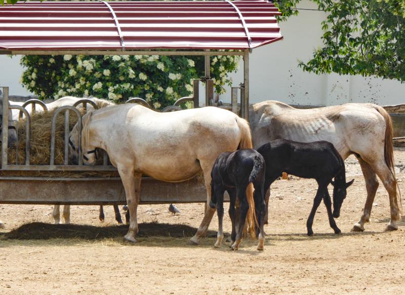 Feeding Trough at Lipica Stud Farm near Sezana Slovenia