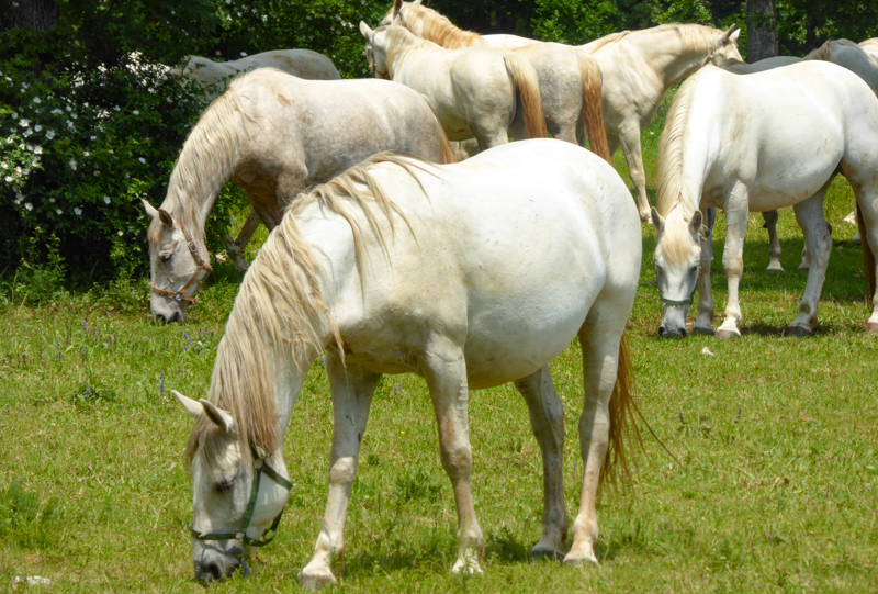 Lipizzan Mares at Lipica Stud Farm in the Slovenian Karst