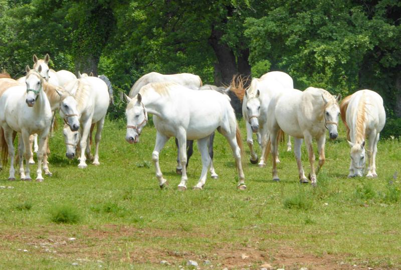 Lipizzan mares at the Lipica Stud Farm in Slovenia