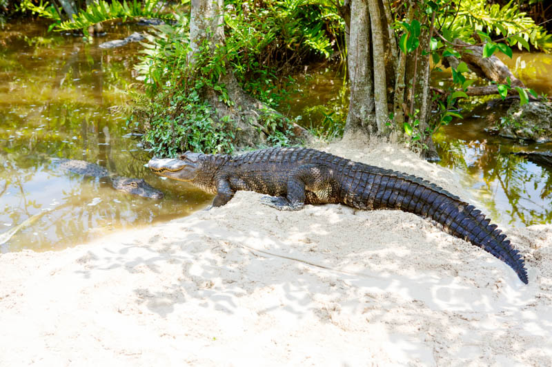 Alligator in Everglades National Park Florida