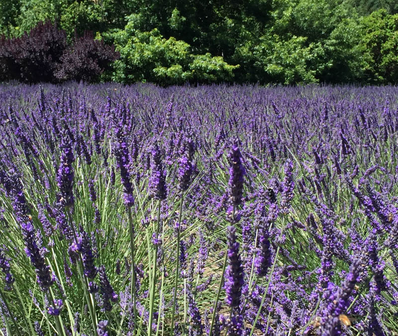 Lavender in bloom in Matanzas Winery in Sonoma County