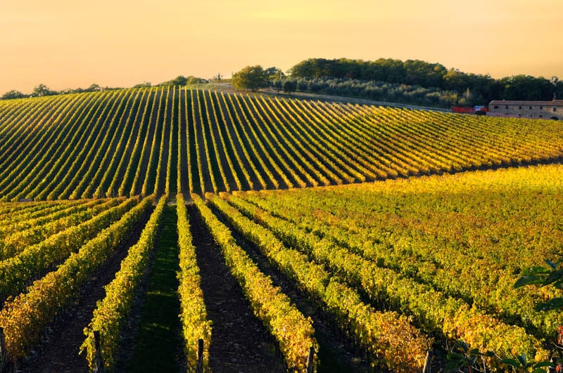 Vineyards in the Chianti region of Tuscany in Italy