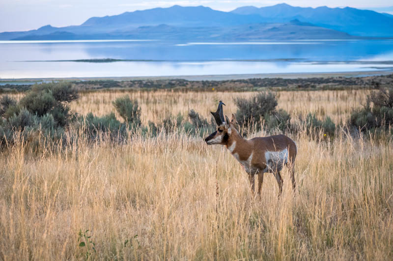 Pronghorn at Antelope Island State Park in Utah