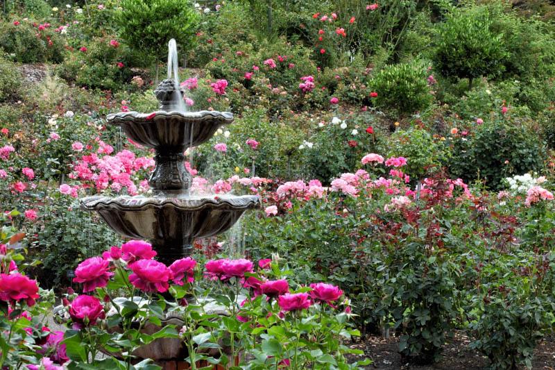 International Rose Test Garden in bloom in Portland, Oregon