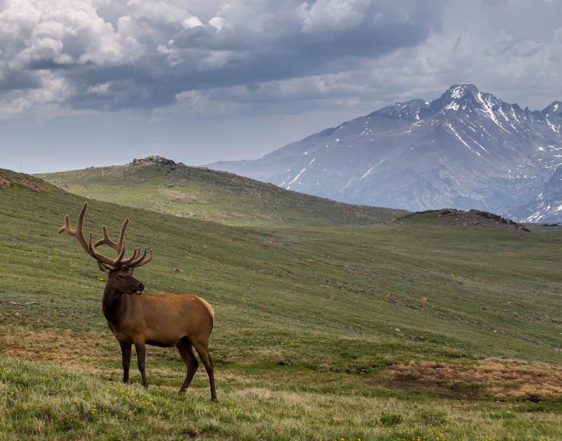 Bull elk at Rocky Mountain NP Colorado