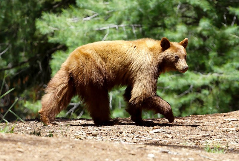 Black bear sightings are common in Sequoia National Park, California