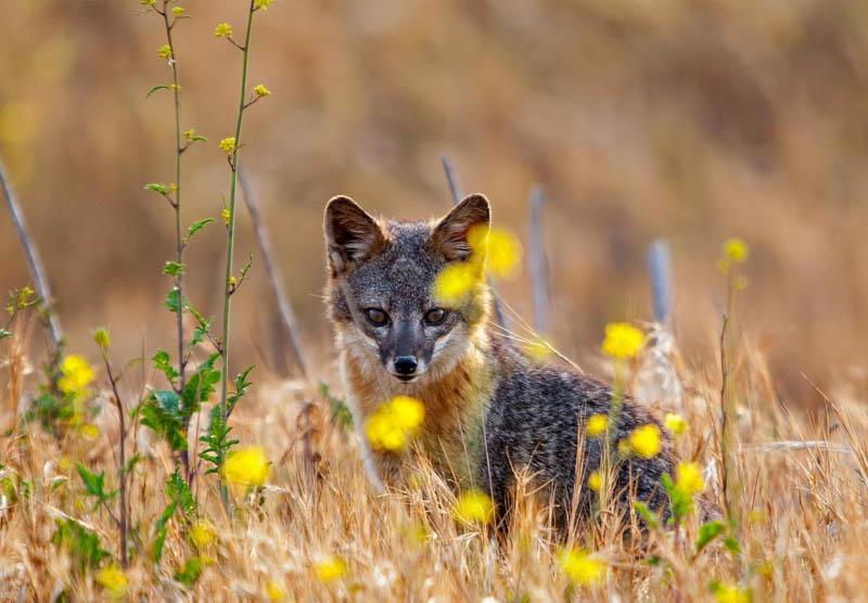 An island fox on Santa Cruz Island in Channel Islands National Park, California