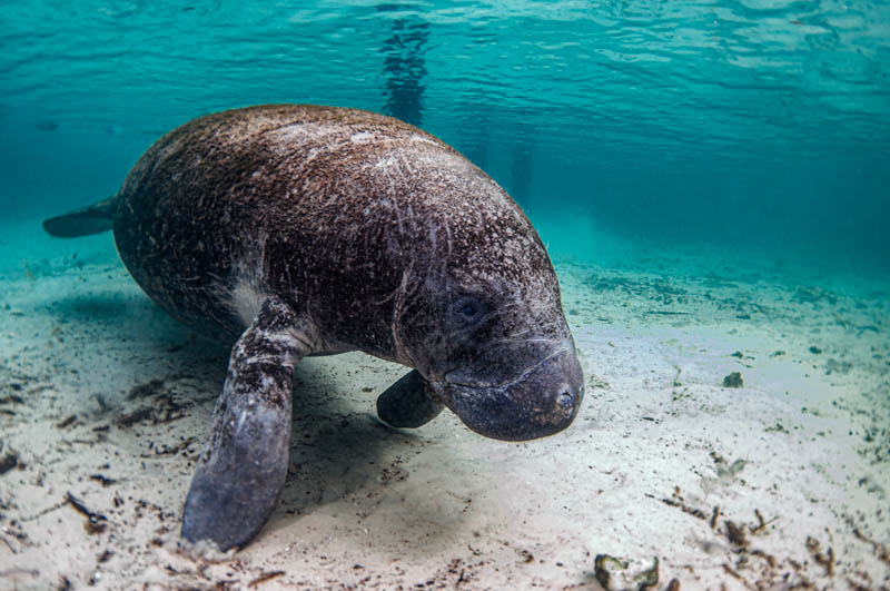 Crystal River, with its manatees, is one of the best places to visit in Florida.