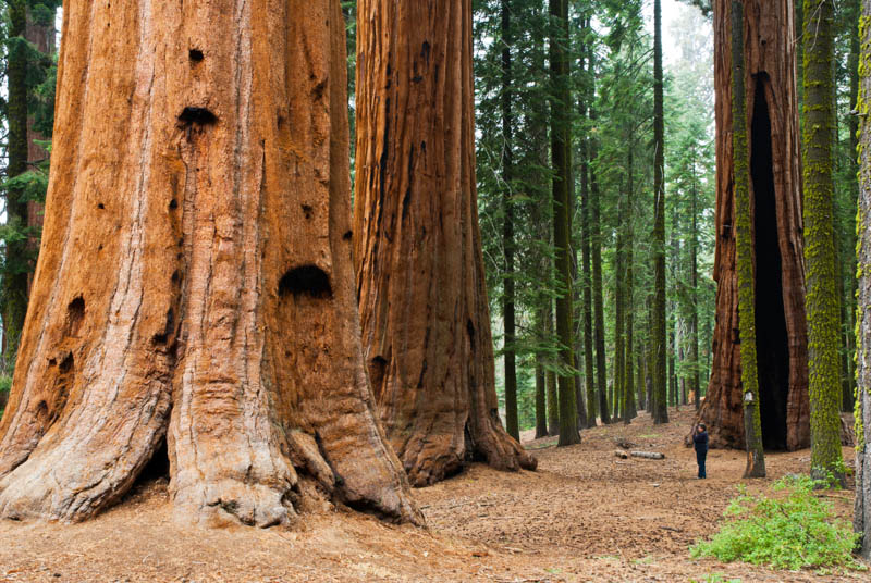 A giant sequoia in Sequoia National Park in California