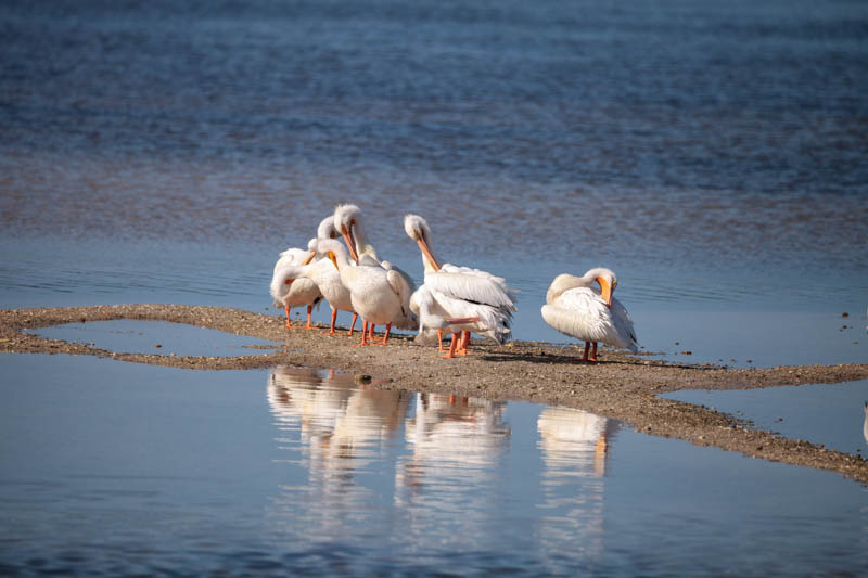 White pelicans at the Ding Darling National Wildlife Refuge, Sanibel Island, FL